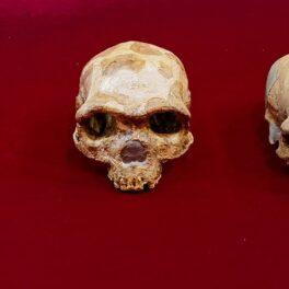 5 cranii ale unor specii aproiate oamenilor, pe un fundal roșu