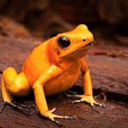 """Broasca """"zombie"""" a fost descoperită în Pădurea Amazoniană. Imagine cu o broască portocalie, care stă pe lemn"""