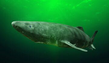 Rechin de Groenlanda, gri, în apă. Fundalul e verde. Specia se numără printre animalele care trăiesc cel mai mult