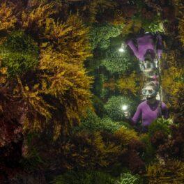 Imagine din consursul Wildlife Photographer of the Year 2021, realizată în australia, în timpul fluxului. Un scafandru îmbrăcat în mov stă printre algele portocalii. A fost desemnată una dintre cele mai bune fotografii cu natura sălbatică în 2021